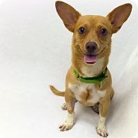 Adopt A Pet :: Peter - Mission Viejo, CA
