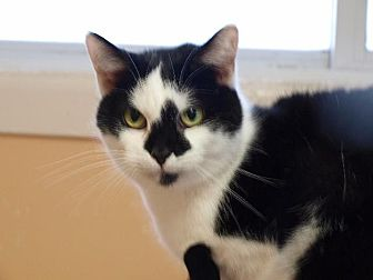 Domestic Shorthair Cat for adoption in Port Clinton, Ohio - Holstein