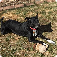 Adopt A Pet :: Lily - Denver, CO