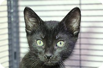 Domestic Shorthair Kitten for adoption in Sarasota, Florida - Snowstorm aka BJ