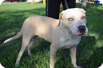 Catahoula Leopard Dog/Labrador Retriever Mix Dog for adoption in Beaumont, Texas - SKYLAR