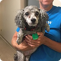 Toy Poodle Dog for adoption in Holland, Michigan - Charley