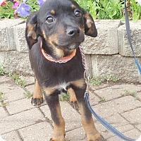 Adopt A Pet :: LaFem - West Chicago, IL