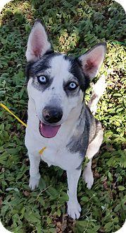 Husky Mix Dog for adoption in Red Bluff, California - Dakota