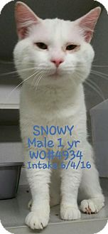 Domestic Shorthair Cat for adoption in Herndon, Virginia - Snowy-NEEDS FOSTER