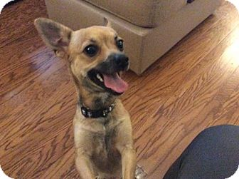 Chihuahua Mix Puppy for adoption in greenville, South Carolina - Coco