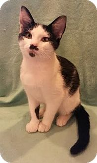 Domestic Shorthair Kitten for adoption in Attalla, Alabama - Howie