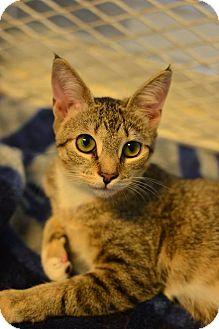 Domestic Shorthair Kitten for adoption in Beacon, New York - Little Nellie