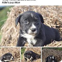 Adopt A Pet :: Alvin - Burlington, VT