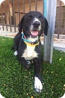 Labrador Retriever Mix Dog for adoption in Redondo Beach, California - Olivia Benson