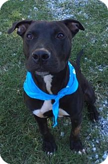 Pit Bull Terrier Mix Dog for adoption in Greensboro, North Carolina - Archie