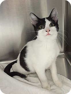 Domestic Shorthair Kitten for adoption in Gatineau, Quebec - Moo