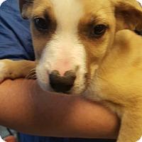 Labrador Retriever/German Shepherd Dog Mix Puppy for adoption in Yelm, Washington - Stuffing