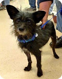 Terrier (Unknown Type, Medium) Dog for adoption in Maryville, Tennessee - Batman