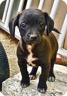 Chihuahua/Terrier (Unknown Type, Medium) Mix Puppy for adoption in Lancaster, California - Linus