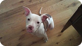 Pit Bull Terrier Mix Dog for adoption in Chicago, Illinois - Puddin'