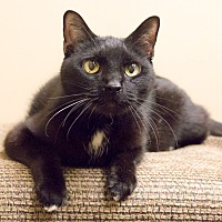Adopt A Pet :: Bob Black - Chicago, IL