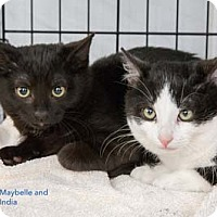 Adopt A Pet :: India - Merrifield, VA