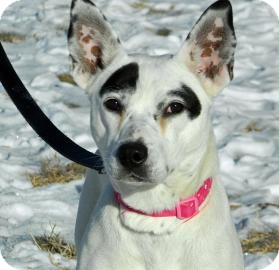 Pit Bull Terrier/Australian Cattle Dog Mix Dog for adoption in Cheyenne, Wyoming - Piper