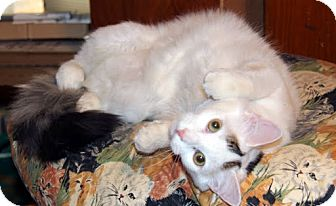 Domestic Mediumhair Cat for adoption in Alexandria, Virginia - Plisch