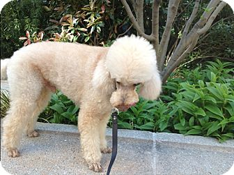 Poodle (Miniature) Dog for adoption in Long Beach, New York - Honey Boy