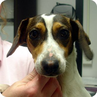 Dachshund/Beagle Mix Dog for adoption in baltimore, Maryland - Mork