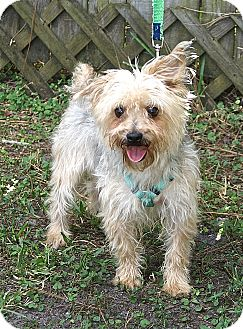 Yorkie, Yorkshire Terrier/Poodle (Miniature) Mix Dog for adoption in Englewood, Florida - Duke