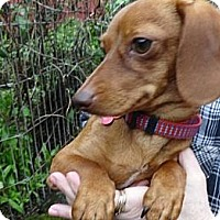 Adopt A Pet :: BABY CAKES - Portland, OR
