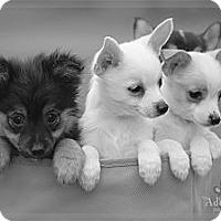 Adopt A Pet :: Bear - Albany, NY