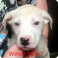 Adopt A Pet :: Winter - baltimore, MD