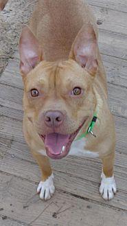American Staffordshire Terrier Dog for adoption in Loganville, Georgia - Bosley