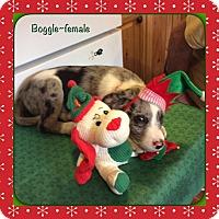 Adopt A Pet :: Boggle - Harmony, Glocester, RI