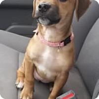 Adopt A Pet :: Coco - Avon, NY