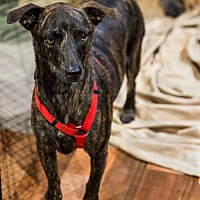 Whippet/Hound (Unknown Type) Mix Dog for adoption in Henderson, Nevada - Dingo