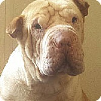 Adopt A Pet :: Lil Man - Barnegat Light, NJ
