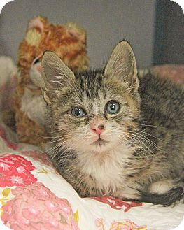 Domestic Shorthair Kitten for adoption in New Rochelle Humane, New York - Andi luvs Dogs!