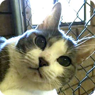Domestic Shorthair Cat for adoption in Phoenix, Arizona - Misty