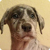 Adopt A Pet :: Mercedes - Boston, MA
