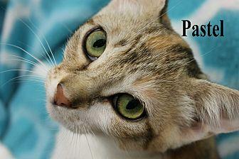 Calico Kitten for adoption in Wichita Falls, Texas - Pastel