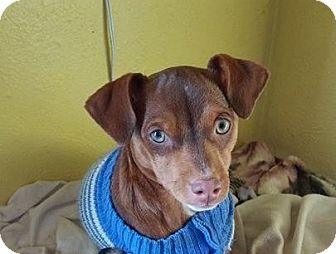 Italian Greyhound/Dachshund Mix Puppy for adoption in Ft. Collins, Colorado - Phineas