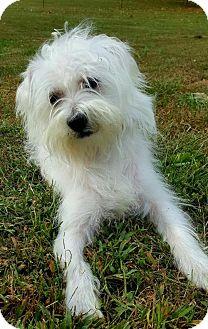 Westie, West Highland White Terrier/Shih Tzu Mix Puppy for adoption in Champaign, Illinois - Bingo