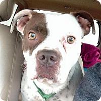 Boston Terrier/Boxer Mix Dog for adoption in Atlanta, Georgia - Carrie