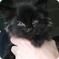 Domestic Mediumhair Kitten for adoption in Levelland, Texas - Lucky