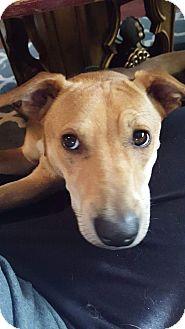 Labrador Retriever Mix Dog for adoption in Broken Arrow, Oklahoma - Charlie