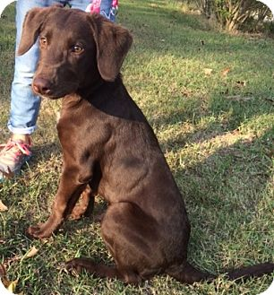 Labrador Retriever Mix Puppy for adoption in Savannah, Tennessee - Reese