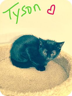 Domestic Shorthair Kitten for adoption in Jackson, New Jersey - Tyson