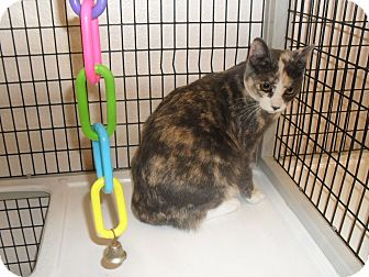 Domestic Shorthair Cat for adoption in Ripon, California - Harley Quinn
