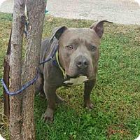 Staffordshire Bull Terrier Dog for adoption in Rosenberg, Texas - A009581