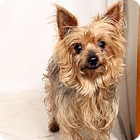 Adopt A Pet :: Braxton (Boo JR) York - St. Louis, MO