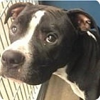 Adopt A Pet :: Justice - Springdale, AR